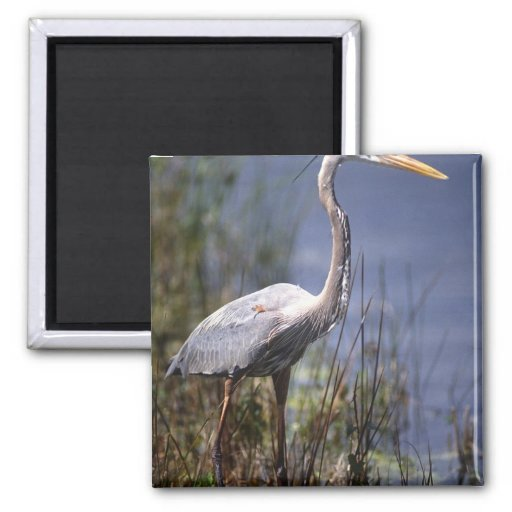 Great Blue Heron water bird found throughout 2 Inch Square Magnet