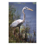 Great Blue Heron water bird found throughout Photo