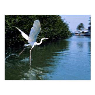 Great blue heron (white phase), Key Largo, Florida Postcard