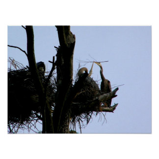 great blue herons at cathedral pines poster