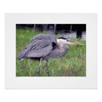 Great Blue Heron's Territory Poster