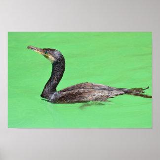 Great cormoran swimming poster