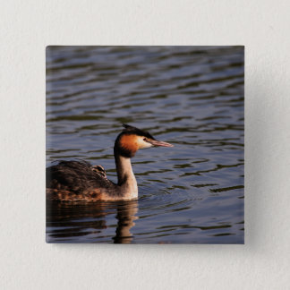 Great crested grebe with chick on back button
