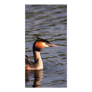 Great crested grebe with chick on back picture card