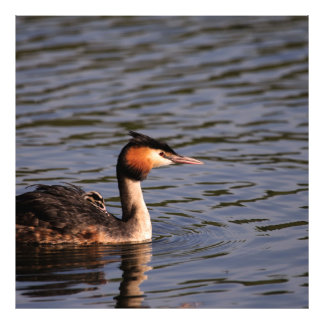 Great crested grebe with chick on back photo print