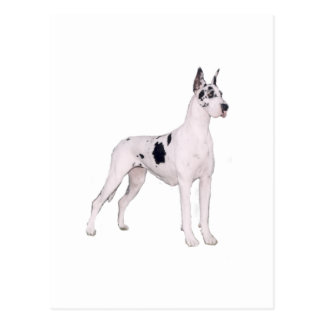 Great Dane (A) - Harlequin standing Post Cards
