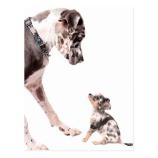 Great Dane and chihuahua Postcards