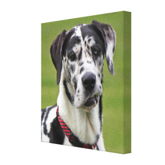 Great Dane dog harlequin beautiful photo gift Stretched Canvas Print