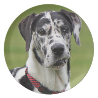 Great Dane dog harlequin beautiful photo, gift Melamine Plate