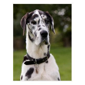 Great Dane dog portrait postcard