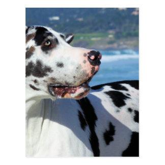 Great Dane - Harlequin - Bogey Postcard
