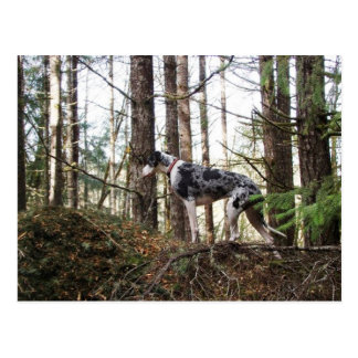 Great Dane Marlie in Woods Postcard