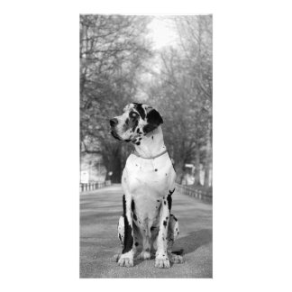 Great Dane Pictures Card