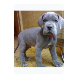 great dane puppy blue.png card