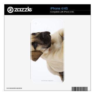Great Dane puppy Lying in Studio iPhone 4S Decal