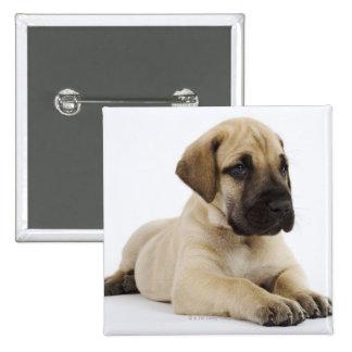 Great Dane puppy Lying in Studio Pinback Button