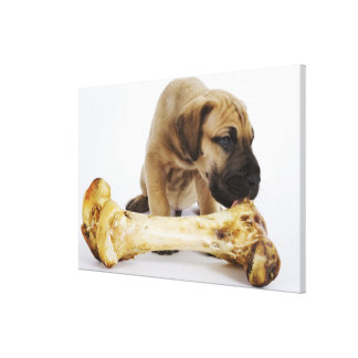 Great Dane puppy with bone in studio Canvas Print