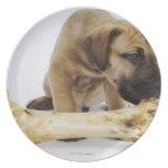 Great Dane puppy with bone in studio Dinner Plate