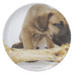 Great Dane puppy with bone in studio Party Plate