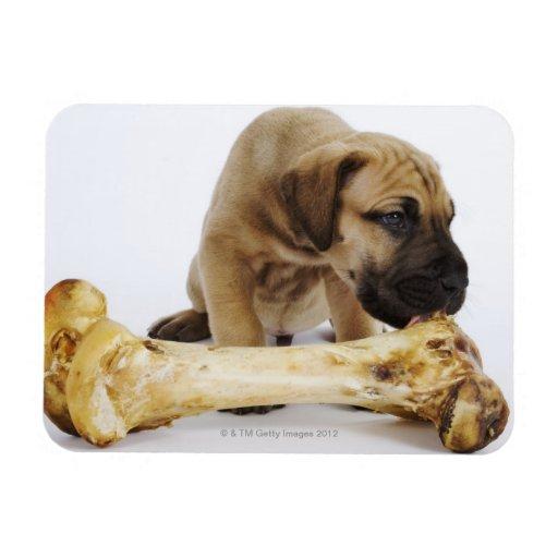 Great Dane puppy with bone in studio Rectangular Photo Magnet