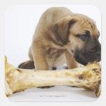 Great Dane puppy with bone in studio Square Sticker