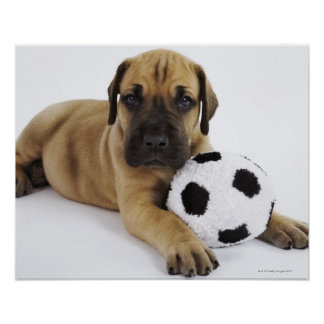 Great Dane puppy with toy soccer ball Poster