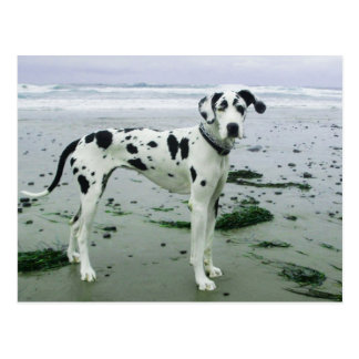 Great Dane Sydney at the Beach Post Cards