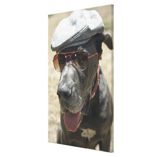 Great Dane wearing hat and sunglasses Canvas Print