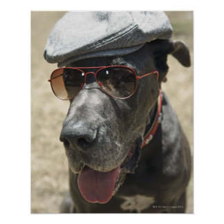 Great Dane wearing hat and sunglasses Poster