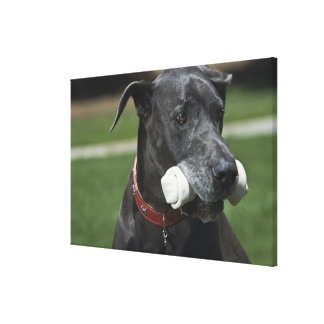 Great Dane with bone Canvas Print