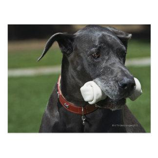 Great Dane with bone Postcard