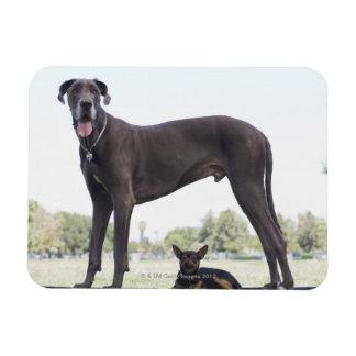 Great dane y pequeño perro de la mezclado-raza iman rectangular