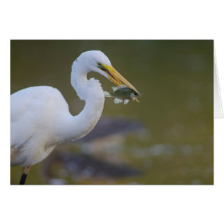 Great Egret eating a fFsh in Refugio Texas Card
