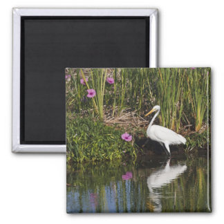 Great Egret hunting fish in freshwater marsh 2 Inch Square Magnet