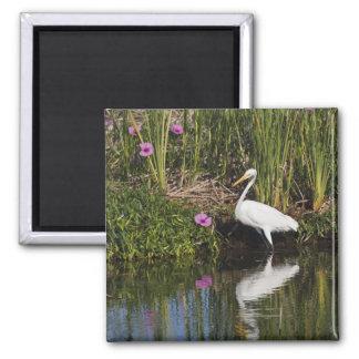 Great Egret hunting fish in freshwater marsh Fridge Magnet