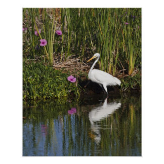 Great Egret hunting fish in freshwater marsh Posters