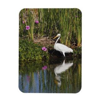 Great Egret hunting fish in freshwater marsh Rectangle Magnet