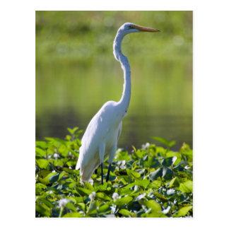 Great Egret, Iquitos, Maynas, Peru Postcard