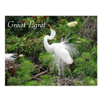 Great Egret - Learning Postcard - Florida