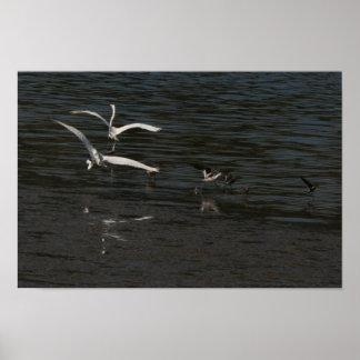 Great Egrets Courtship Flight  Print