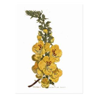 Great Flowered Celsia Postcard