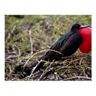 Great frigate bird, Genovesa Island, Galapagos Isl Postcard