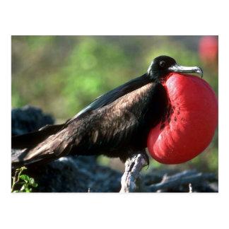Great Frigatebird, Male Courtship With Large Gular Postcard