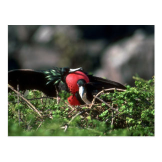 Great Frigatebirds, Male With Large Gular Sac And Postcard