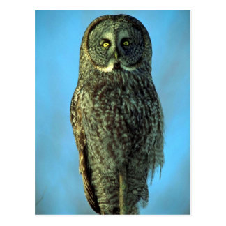 Great gray owl, Bruce Penninsula Postcard