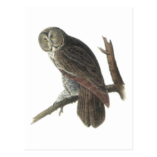 Great Gray Owl by Audubon Postcard