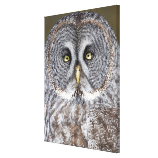 Great gray owl close-up, Canada Canvas Print