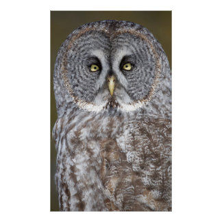 Great gray owl close-up, Canada Poster