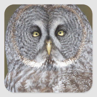Great gray owl close-up, Canada Square Sticker