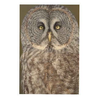 Great gray owl close-up, Canada Wood Print